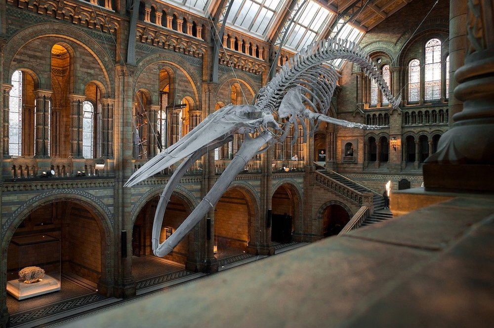Dinosaur skeleton hanging from the roof in London's Natural History Museum